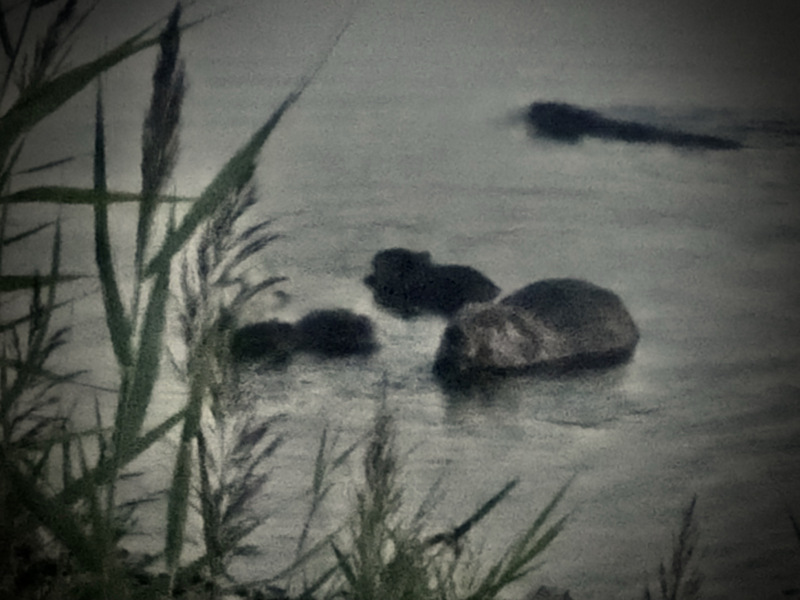 Beavers in a pond