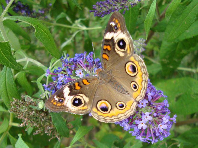 Butterfly Lauren Flax